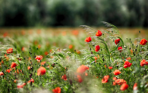poppies, flowers, trees, macro, nature
