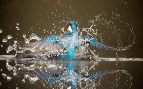 water, splash, bird, stunner, wings