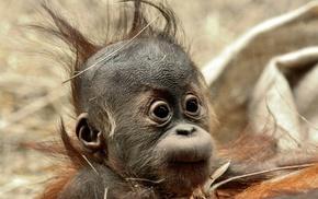 orangutans, chimpanzees, animals, baby animals