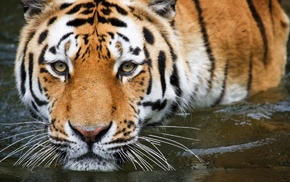 nature, tiger, animals, water, mustache