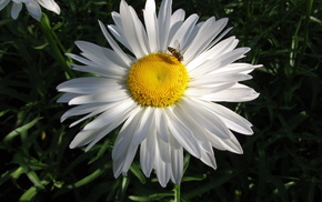 ромашка, цветы, цветок