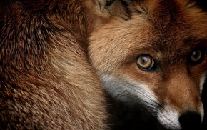 fox, beautiful, muzzle, animals