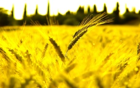 wheat, beautiful, macro