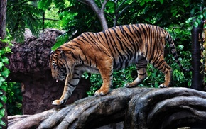 photo, animals, predator, tiger