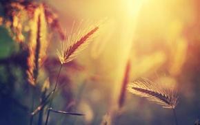 sunlight, nature, spikelets