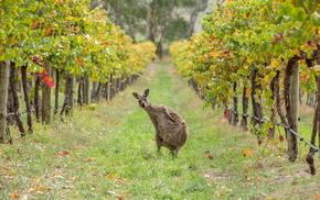 greenery, Australia, animals