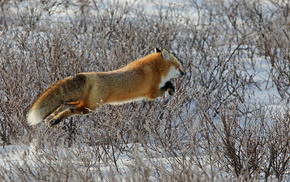 fox, bushes, tail, bounce, winter