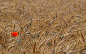 nature, poppies, Ukraine, wheat, field, macro