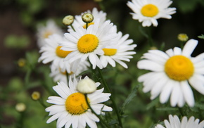 flowers, chamomile, greenery