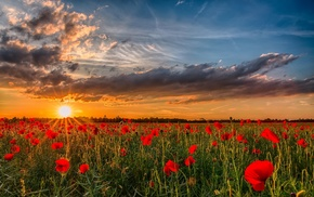poppies, sky, clouds, nature, sunset
