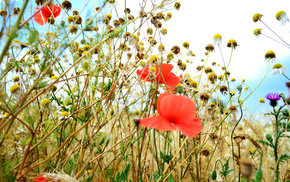 poppies, nature, field, summer, grass
