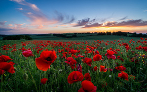 poppies, field, glade, hills, petals