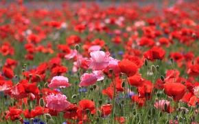 summer, poppies, macro photo, field, flowers