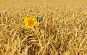 flower, nature, Ukraine, field, wheat