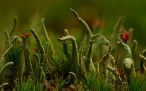 макро, трава, макро мир, Кладония, лишайник