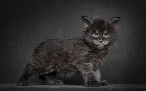 cat, background, black, animals, kitten