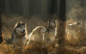 wolf, animals, forest