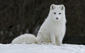 зима, песец, мех, животные, лиса, снег