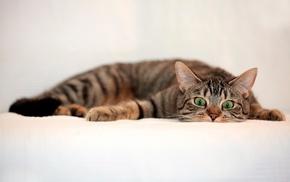 cat, white background, animals