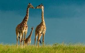 животные, пасмурно, жирафы, небо, природа, тема