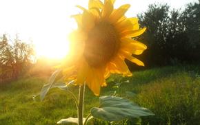 лето, солнце, природа, подсолнух