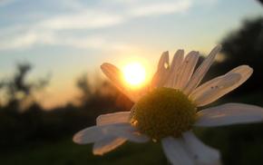 ромашки, солнце, Лето