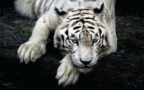 animals, white tigers, tiger, nature, big cats
