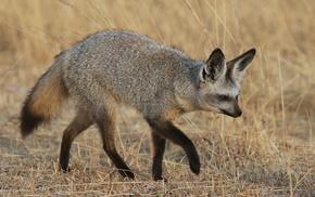 лиса, трава, большеухая, лисица, животные