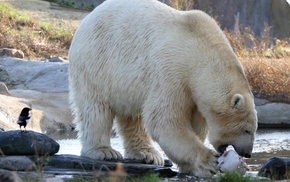 river, eating, birds, polar bears, animals, bears
