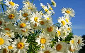 beautiful, summer, flowers, chamomile