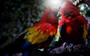 красное, красивые, любовь, попугаи, яркость