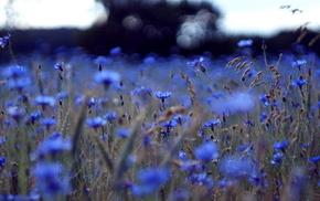 цветы, красивые, красота, Василек синий, поле