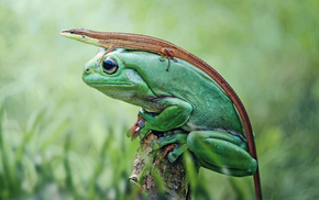 nature, animals, frog