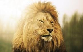природа, лев, хищник, животные, фото, тема