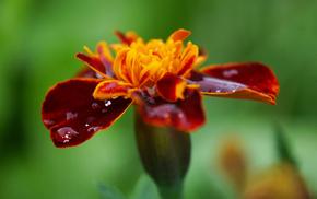 summer, flowers, macro