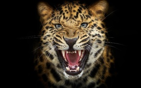 leopard, photoshop, animals, predator, black background