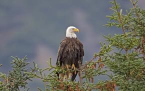 хищник, животные, орлан, птица, красота, Белоголовый орлан
