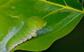 гусеница, макро, лист, красота, зелень