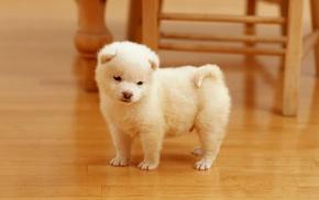 Akita, dog, puppies