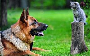 cat, German Shepherd, kittens, animals, tree stump, dog