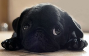 puppies, pug, dog