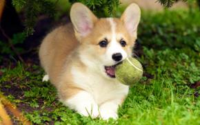 dog, puppies, Corgi