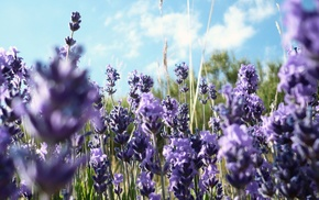 purple flowers, lavender, flowers, nature