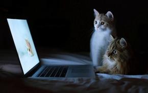 laptop, cat