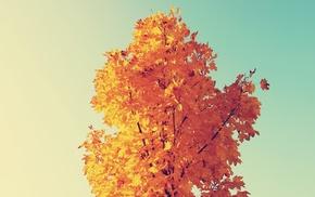 maple leaves, nature
