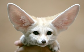 fennec, animals