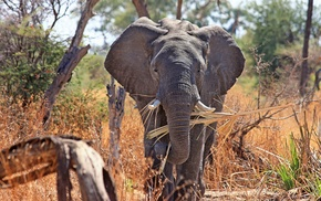 Africa, animals, elephants