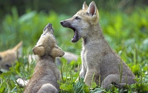 yawning, field, baby animals, nature, wolf, animals