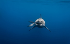 blue, animals, tail, Great White Shark, sea, underwater