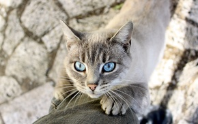 cat, mammals, nature, blue eyes, animals
